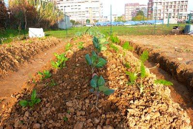 Finocchi, cavoli e spinaci sull'orto urbano collettivo di mondoerre